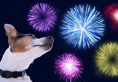 Dog muzzle jack russell terrier against the sky with colored fireworks. Safety of pets during fireworks concept